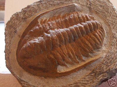 Moroccan Trilobite