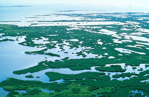 Mangrove swamp image