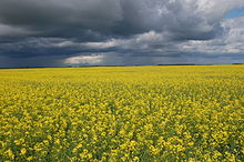 canola flower field in Saskatchewan