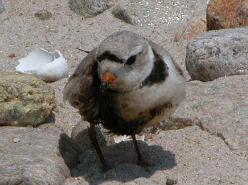Oiled Piping Plover at the Buzzards Bay oil spill