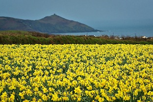 Yellow daffodils in Cornwall