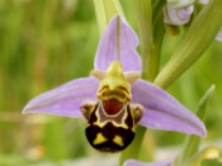 The Bee Orchid