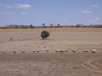 Riverina Sheep