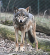 The European Grey Wolf
