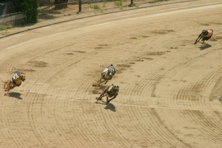 Greyhound racing - click for larger image
