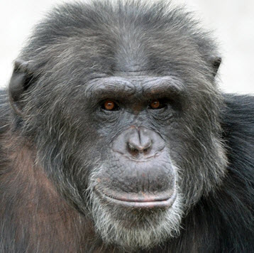 Hugo, a chimpanzee living at the Chimp Haven sanctuary