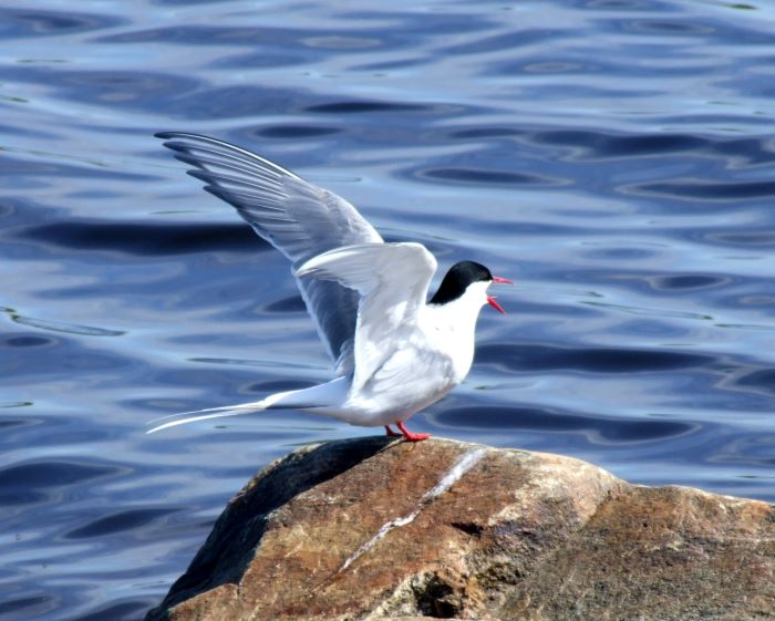 An Arctic tern on a rock by Bothnian Bay in Finland